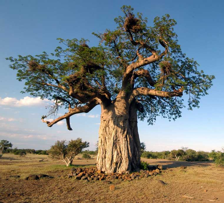 Meet the trees – the baobab